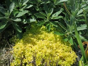 黄金丸葉マンネングサ2