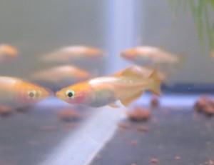 竹島水族館 メダカ展 29