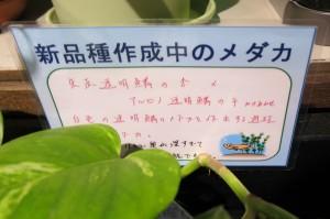 竹島水族館 メダカ展 36