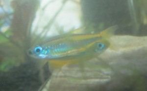 ゴールデンコンゴテトラ(phenacogrammus aurantiacus)2