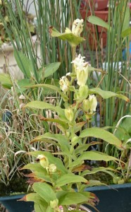 ホトトギス 白花