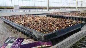seed karasina1