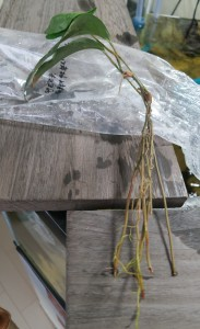 抽水植物spナイジェリア5