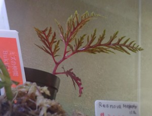 Begonia bipinnatifida2