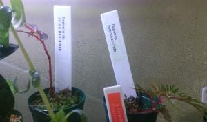 begonia-bipinnatifida&julau