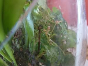 begonia prismatocarpa.var -flower bud2
