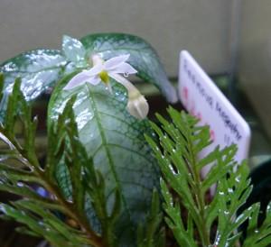 ミズの仲間 Bukittinggi 開花3