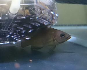 Variabilichromis moorii 2