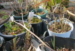 植物イロイロ 芽が展開