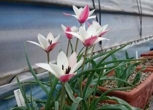 tulipa ペパーミントスティック 2017.4.17a
