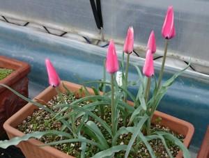 tulipa ペパーミントスティック 2017.4.17b