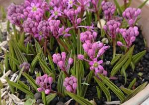 シマツルボ 開花